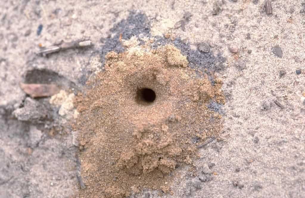 Wilde bij nestje zandbodem