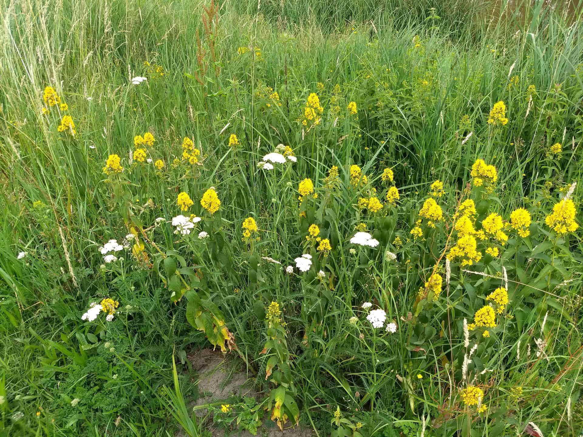 Bloemrijk gras