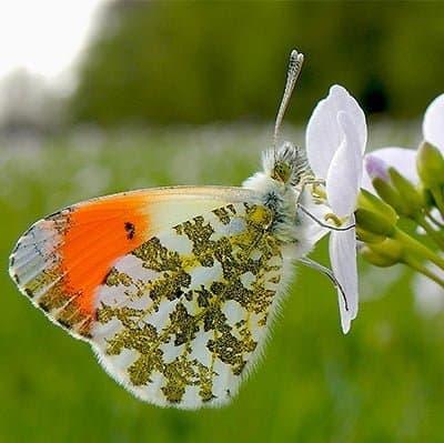 Oranje tipje vlinder naturio